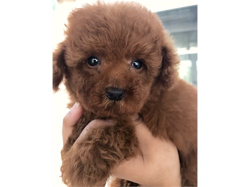 AKC Red Toy Poodle