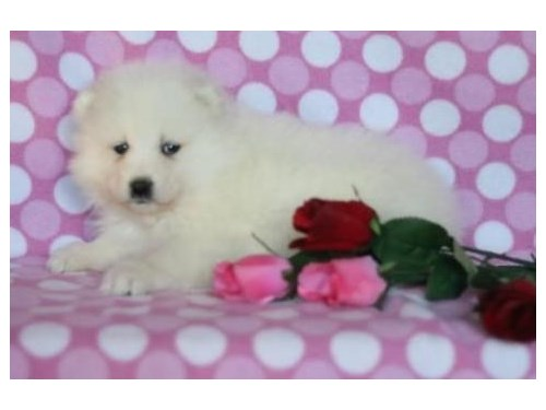 Cute Samoyed puppies for