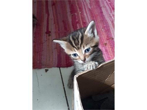 Playing siberian cats