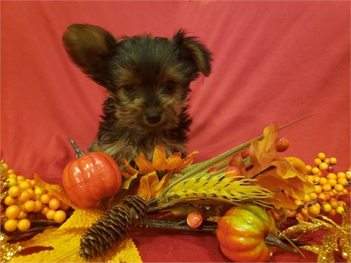 Tiny Yorkie Female