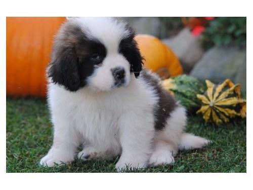 Brainy Saint Bernard pup