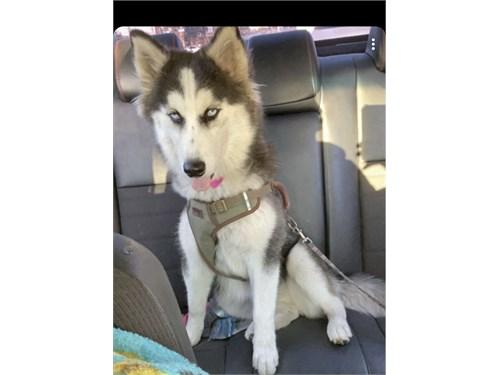 Siberian husky 5 months