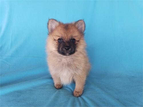 Pomeranian Male