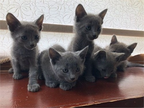 Charm Russian Blue Kitten