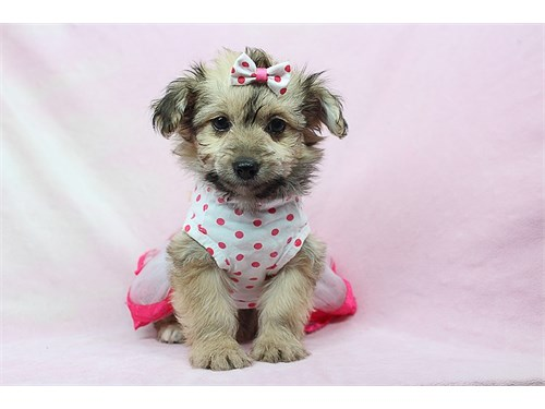 Mini Mouse - Yorkipoo