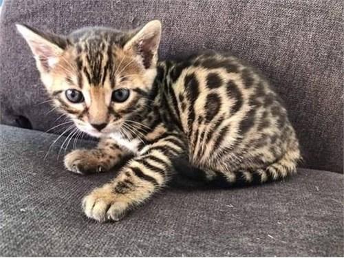Bright Bengal Kittens