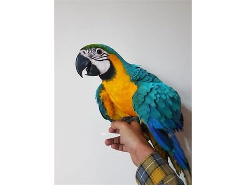 B/G Macaw Tame