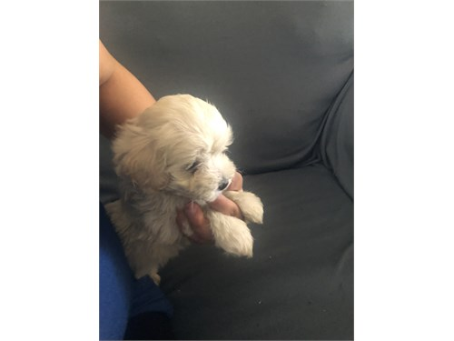 Maltese with poodle baby