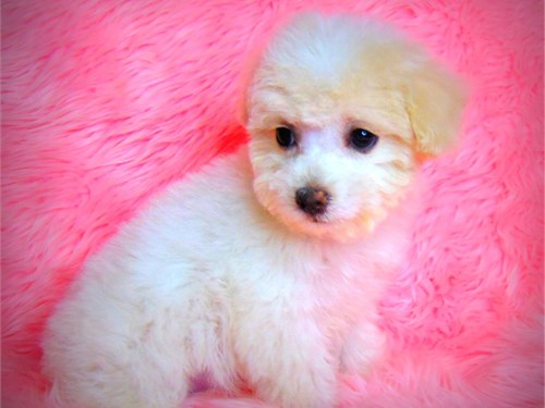 Poodle/cream female