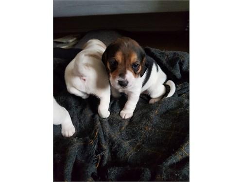 Beautiful Beagle Puppies.