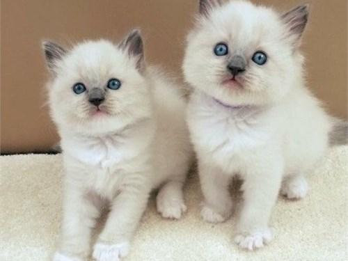 Potty Ragdoll kittens