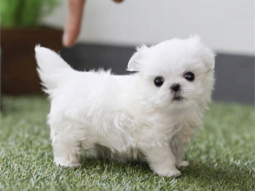 T CUPS MALTESE FOR SALE