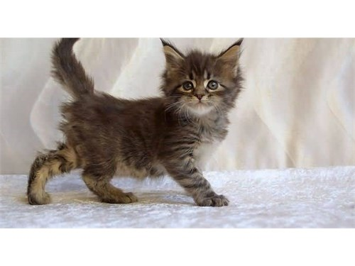 Little-Maine-Coon-Cat-Bab