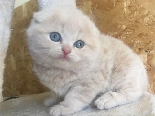 Scottish Fold Kittens, Gi