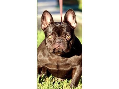 French bulldog Stud