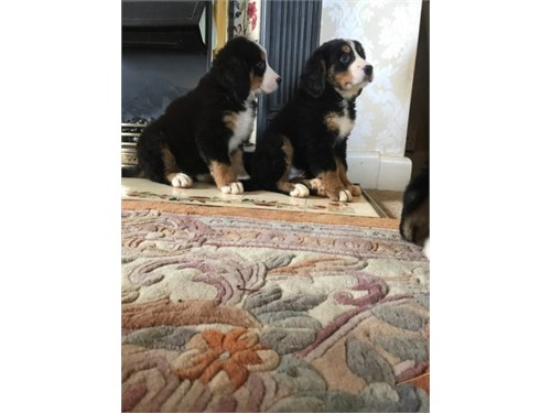Bernese Mountain Dog Pups