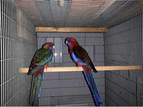 Young Pair of Rosella