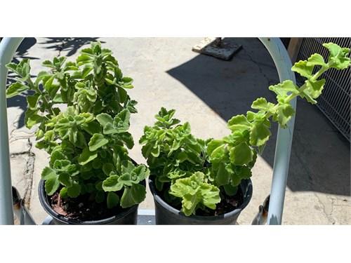 Mentholatum Plant