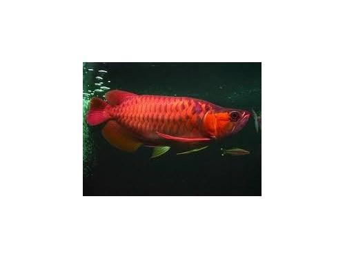 Red Arowana Fish