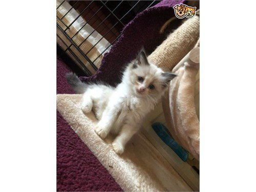 Ragdoll available now