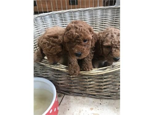 3 Gorgeous Cockapoo Pupps
