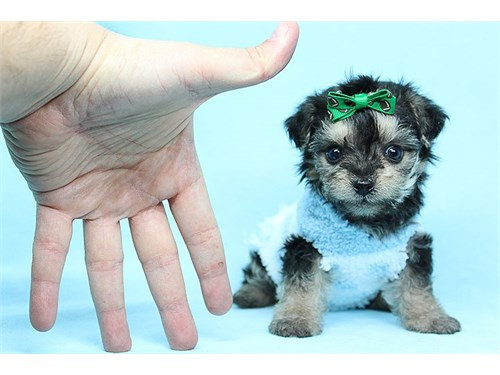 Cole - Teacup Yorkipoo