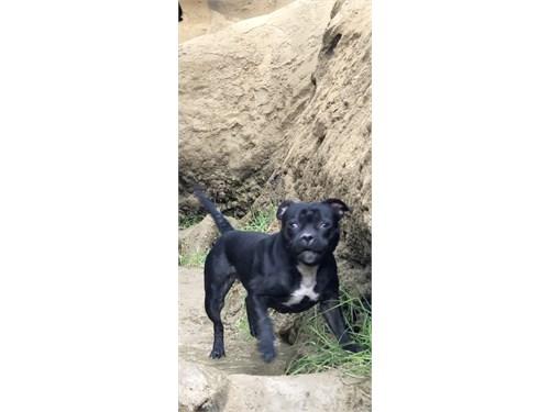 Staffy Bull Terrier Pups