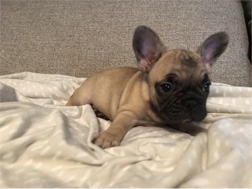 French Bulldog 7 weeks