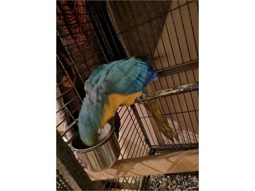 fabulous macaw Ready