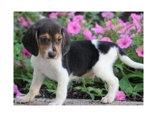 Affectionate Beagle pup