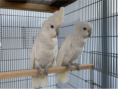 Pair of Ducorps Cockatoo