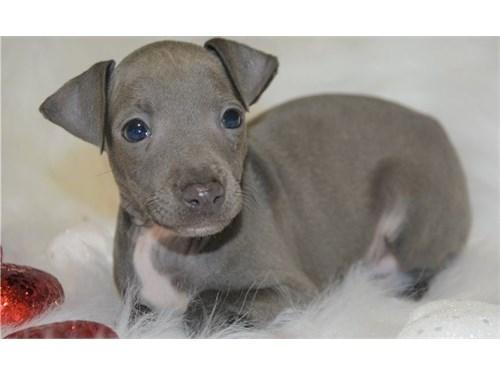 Hgyt  Italian Greyhound P