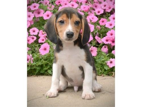 Beagle puppies ready