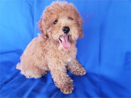 Red Mini Poodle Male