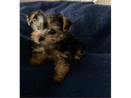Male Yorshier Terrier