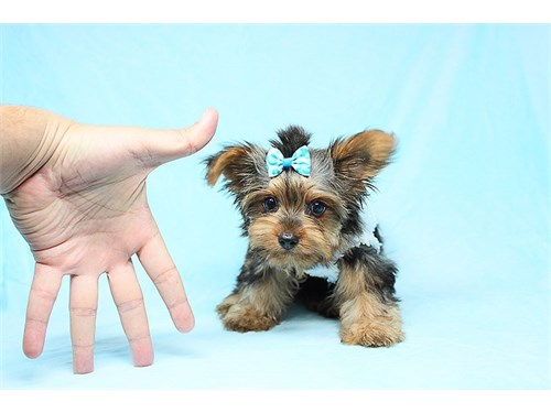 AKC Teacup Yorkie puppies