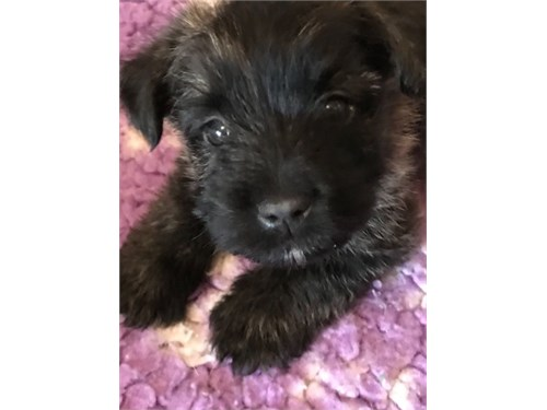 Cairn Terrier Puppies For