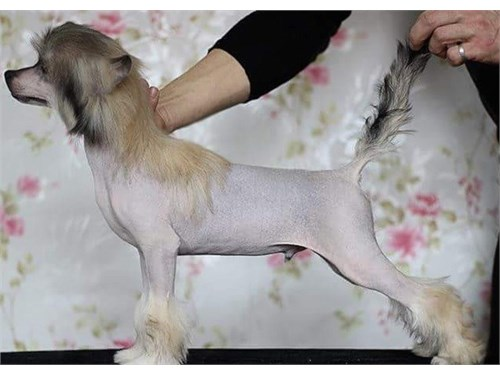 Cute Chinese Crested Pup