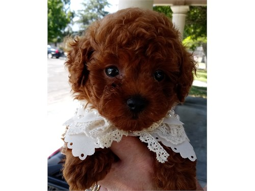 AKC tiny Red Poodle Puppy