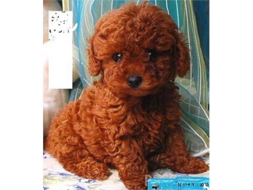 RED COLOR MALTIPOO PUPPY