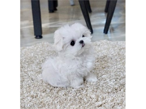 SUPER TINY MALTESE PUPPY