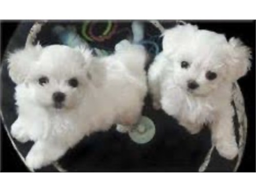 MALTESE PUPPIES