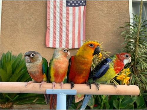Baby Rosellas and Conures