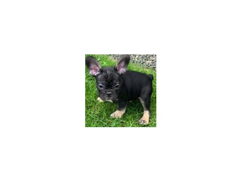 French Bulldog Pups Going