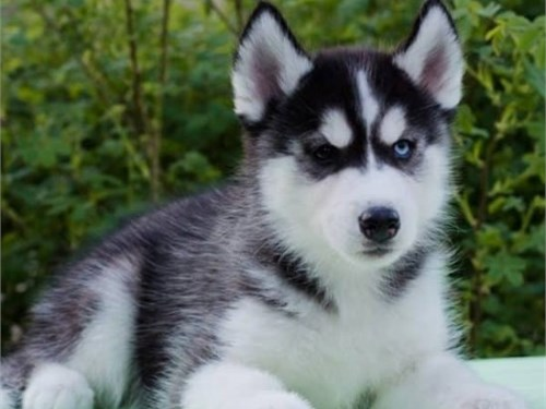 Blue Eyes Siberian Husky