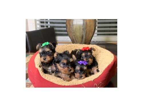Yorkie Puppies (AKC)