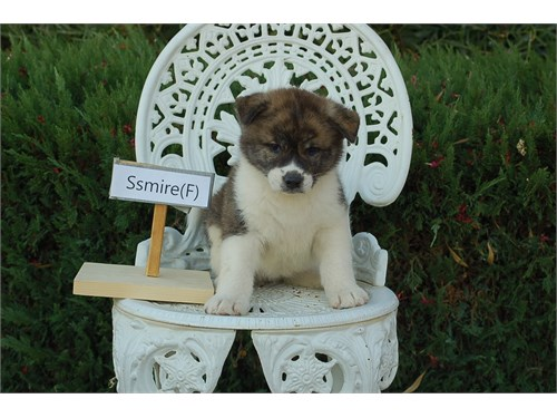 Cute Japanese Akitas