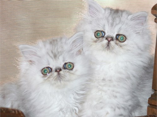 Shaded Silver Persians