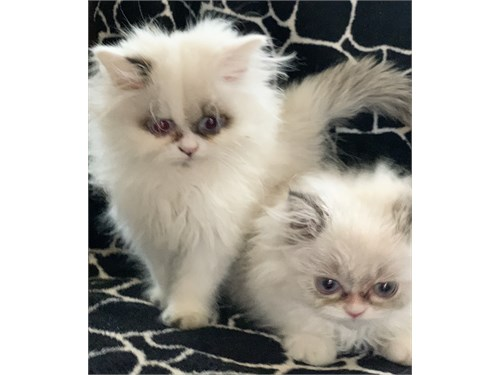 Persian Kitten males