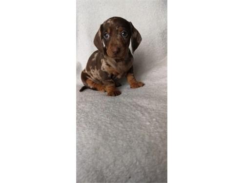 Male Puppy Dachshund